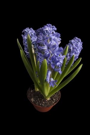 hyacinthus: Se trata de tres Hyacinthus orientalis de color p�rpura en una olla de color naranja sobre un fondo negro. Foto de archivo
