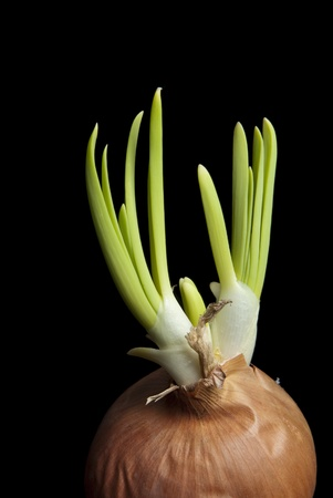 This is a germinate onion isolated over a black background.