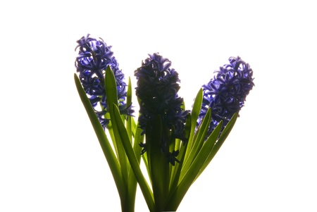 This is three purple hyacinth backlite over a white background. photo