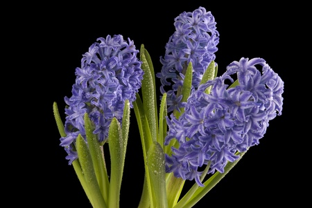 This is three purple hyacinth with drops over a black background.