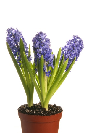 This is three purple hyacinth isolated over a white background.