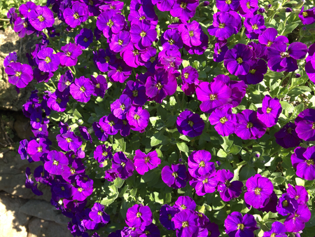 Aubrieta growing out of a drystone wall, covered in vibrant purple flowers