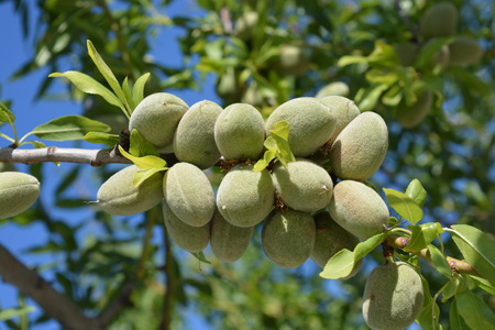 Almond tree, prunus dulcis. Almond fruits ripening on the tree, showing the green fuzzy hulls Imagens