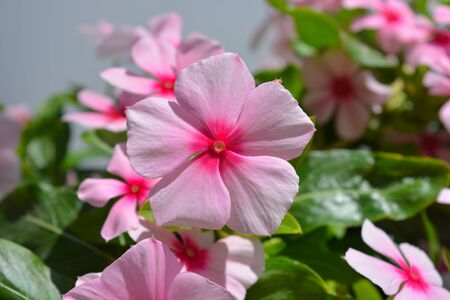 Trailing Vinca, Catharanthus roseus, fresh pink flowers. Sometimes known as Periwinkle.