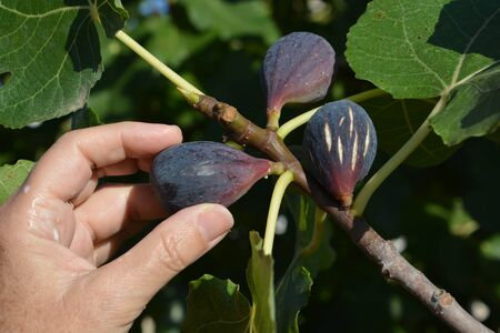 Woman picking ripe figs fresh from the tree