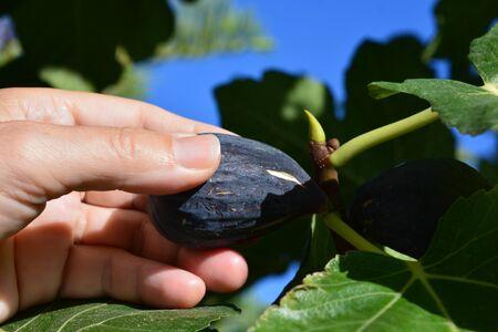 Woman picking fruit, ripe figs Banco de Imagens
