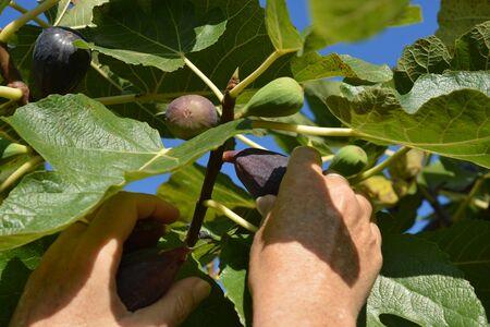 Woman picking organic, ripe, fresh figs from the tree Banco de Imagens