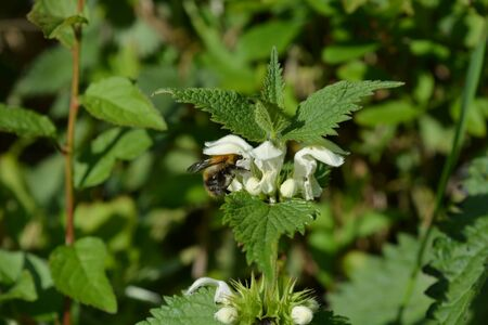 Bumble bee on a White Dead Nettle flower, also known as Lamium album in a British hedgerow in springtime, Dorset, England