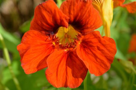 Bright orange Common nasturtium flower, Jewel mix, growing in a summer garden