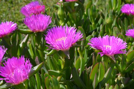 Carpobrotus in flower, commonly known as pig face, ice plant, sour fig or Hottentot fig