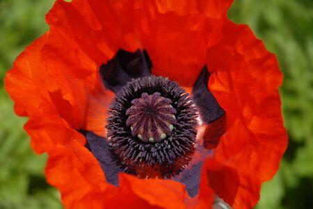 Oriental poppy, alson known as Papaver orientale, Brilliant.  Flower with bright red petals in a summer garden