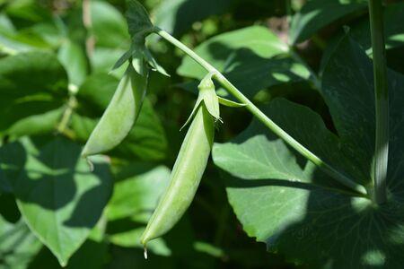 Pea Sugar Ann, organic sugarsnap pea pods ripening on the vine, ready to harvest