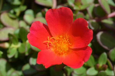 Moss rose,  also known as Purslane or Portulaca, close up of a single bright red flower with yellow stamens.  Stock Photo