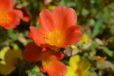 Moss rose,  also known as Purslane or Portulaca, close up of a single orange flower with yellow stamens.