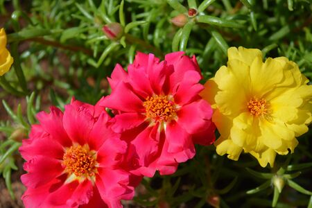 Brightly coloured Moss rose flowers, also known as Portulaca,  or Purslane, a hardy annual ground cover Stock Photo
