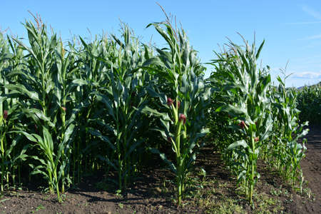 Field of corn, planted in rows 写真素材