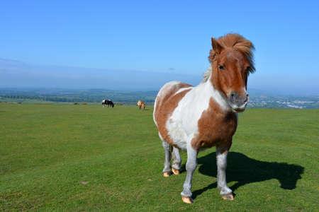 Dartmoor pony grazing on Whitchurch Common, Dartmoor National Park, Devon, England Foto de archivo