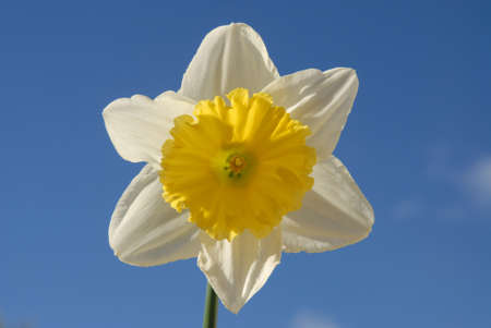 Perfect white and yellow daffodil bloom, Narcissus Crewenna