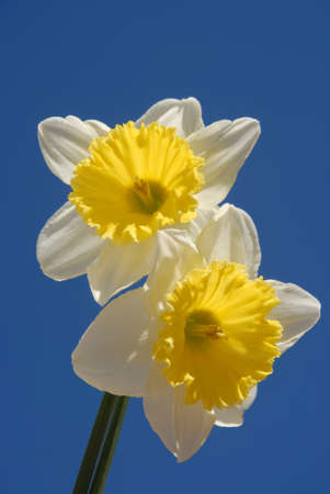 Two perfect white and yellow daffodil blooms, also known as Narcissus Crewenna isolated against blue sky