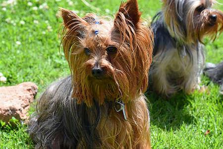 Onix, Yorkshire terrier