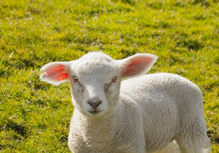 lays down: A young cute baby lamb in hot Spring sunshine.