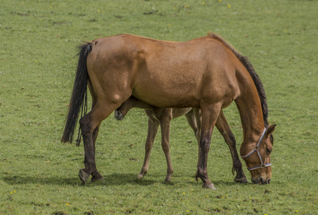 greenpeace: Wild horse with a foal on a green meadow. Stock Photo
