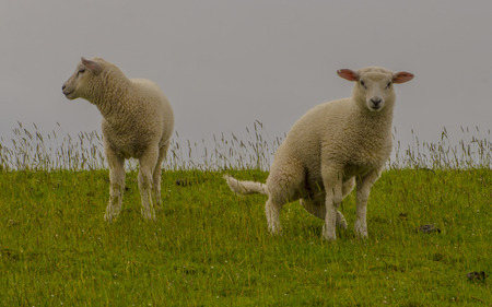 lays down: Young sheep walk on green grass