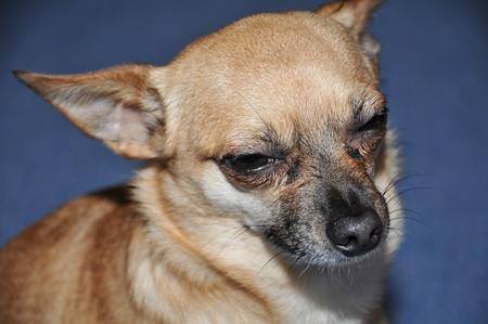 Chihuahua hond portret