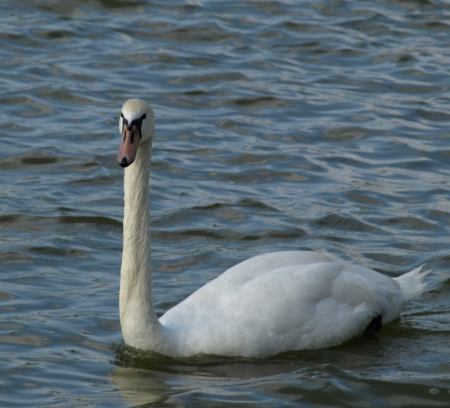 Single Swan Stock Photo - 14781265