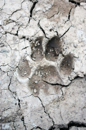 mountain lion tracks in mud photo
