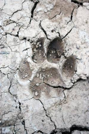 mud print: mountain lion tracks in mud Stock Photo