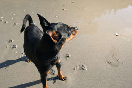 Dog on the beach watching with head high