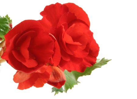 andamp: Begonia
