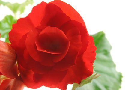 begonia: Begonia
