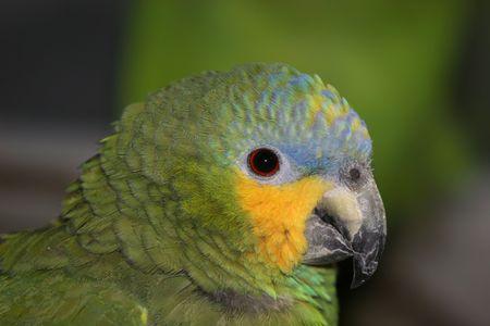 Blue fronted Amazon photo