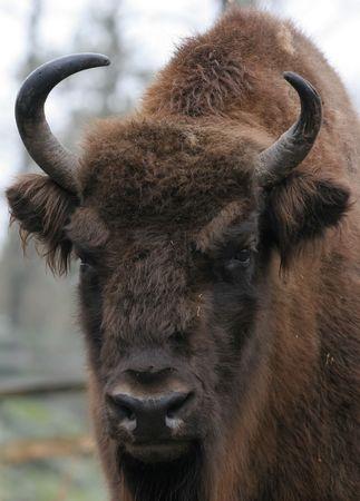 유럽의: European Bison