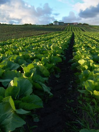 bountiful: Rows of cabbage leading up to farm on small hill Stock Photo