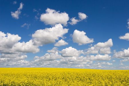 canola: Canola fields in summer