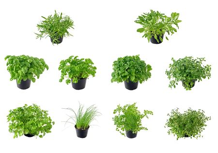 balm: Different kinds of isolated herbs, from top left to right: Rosemary, Sage, Basil, Parsley, Lemon balm, Oregano, Coriander, Chive, Chervil and Thyme