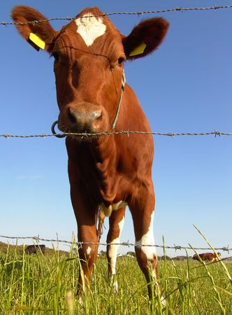 Low angle close-up of dairy cow behind fence photo