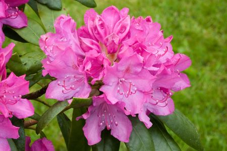 rhododendron: Rhododendron flower