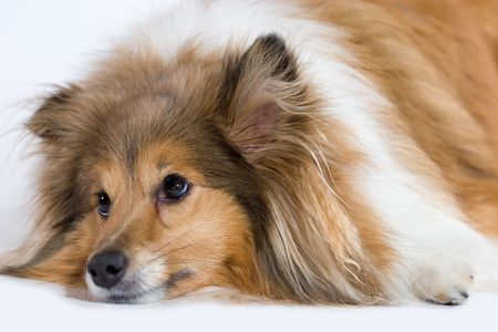 sheepdog: Sad looking Shetland Sheepdog