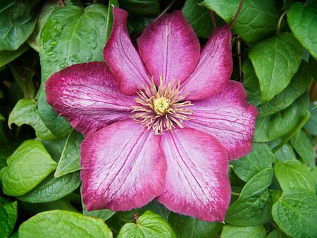 clematis flower: Close-up of Clematis flower Stock Photo