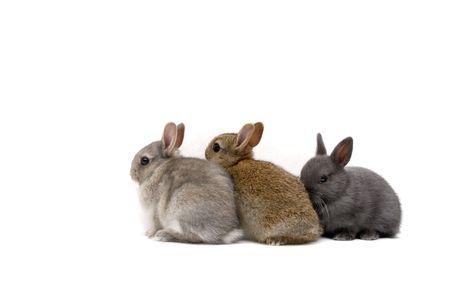 Three Netherland Dwarf bunnies on white background Stock Photo - 474147