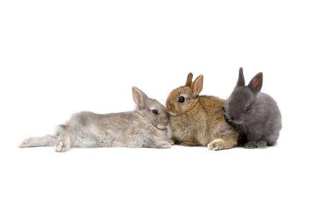 Three Netherland Dwarf bunnies on white background Stock Photo - 485675