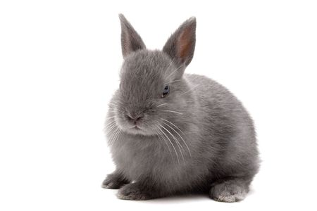 Cute Netherland Dwarf bunny on white background