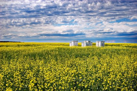 gilbert: Bee hives in a canola field. The black spots in the picture are bees, not dust! Stock Photo
