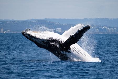 whale watching: Humpback whale breaching off Australia coast