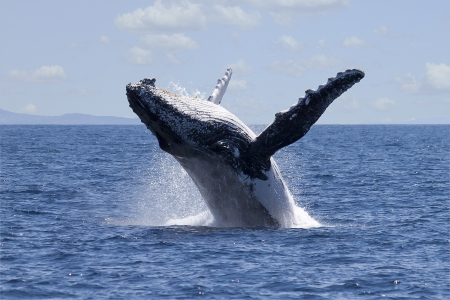 whale underwater: Humpback whale breaching off the coast of Queensland