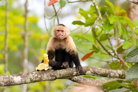 monkey eating banana photo
